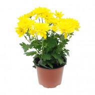 """Горшечная хризантема """"Желтая"""""""